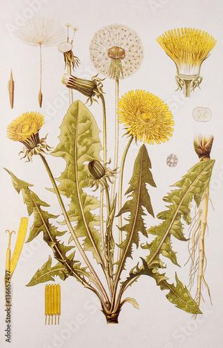 Fotografie, Obraz  Illustration botanique / Taraxacum officinale / Pissenlit