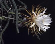 Selenicereus Grandiflorus  / Reine De La Nuit