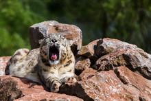 Snow Leopard Yawning