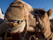 Camel Opening Mouth And Showin...