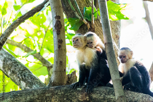 Trio of white faced capuchins Canvas Print
