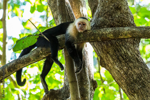 Photo  White faced capuchin chills on a branch