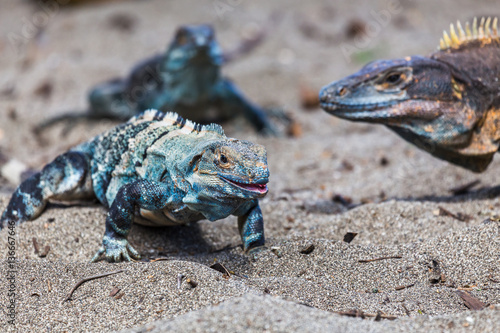 Trio of black iguanas on the beach Canvas-taulu