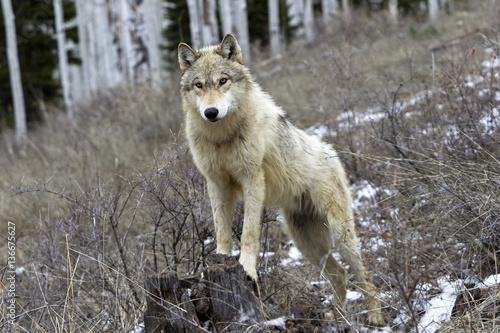 Papiers peints Loup Canis lupus / Loup commun