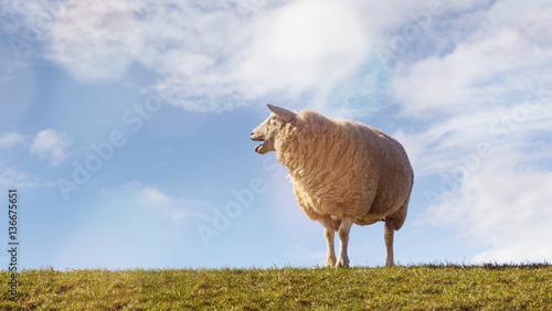 Leinwand Poster Schaf auf dem Deich