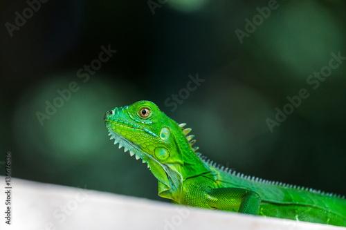 Baby Green Iguana Canvas-taulu