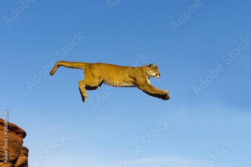 Poster Puma Puma concolor / Puma / Cougar