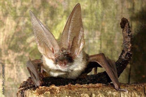 Fotografía Plecotus auritus / Oreillard commun