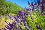 Purple lavender field in Provence France - 136693066