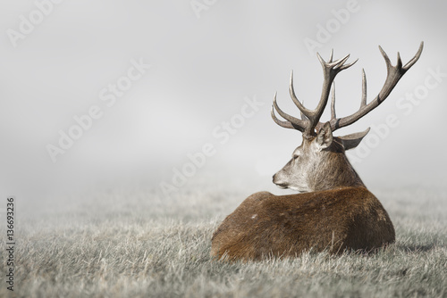 Photo sur Aluminium Cerf Deer in Fog