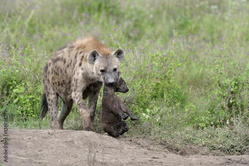 Foto op Aluminium Hyena Crocuta crocuta / Hyène tachetée