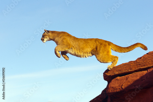 Photo sur Toile Puma Puma concolor / Puma / Cougar