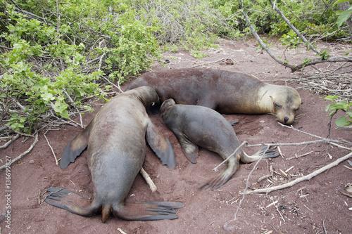 Fototapety, obrazy: Zalophus californianus wollebaecki
