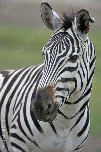 Photo Stands Zebra Hippotigris quagga burchelli / Zèbre de burchell