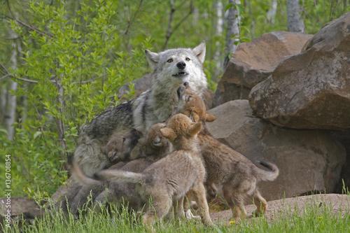 Valokuva  Canis lupus lupus / Loup d'Europe