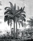 Illustration botanique / Musa sp. / Bananier - 136710644