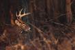 Odocoileus virginianus / Cerf de Virginie