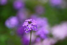 Purple Garden Verbena Flowers...