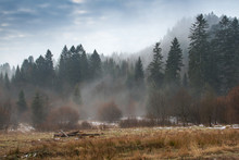 Glade In The Old Coniferous Forest Covered With Fog, Early Spring. Morning Fog In The Woods. Charming Springtime In A Meadow In The Old Coniferous Forest In The Carpathians