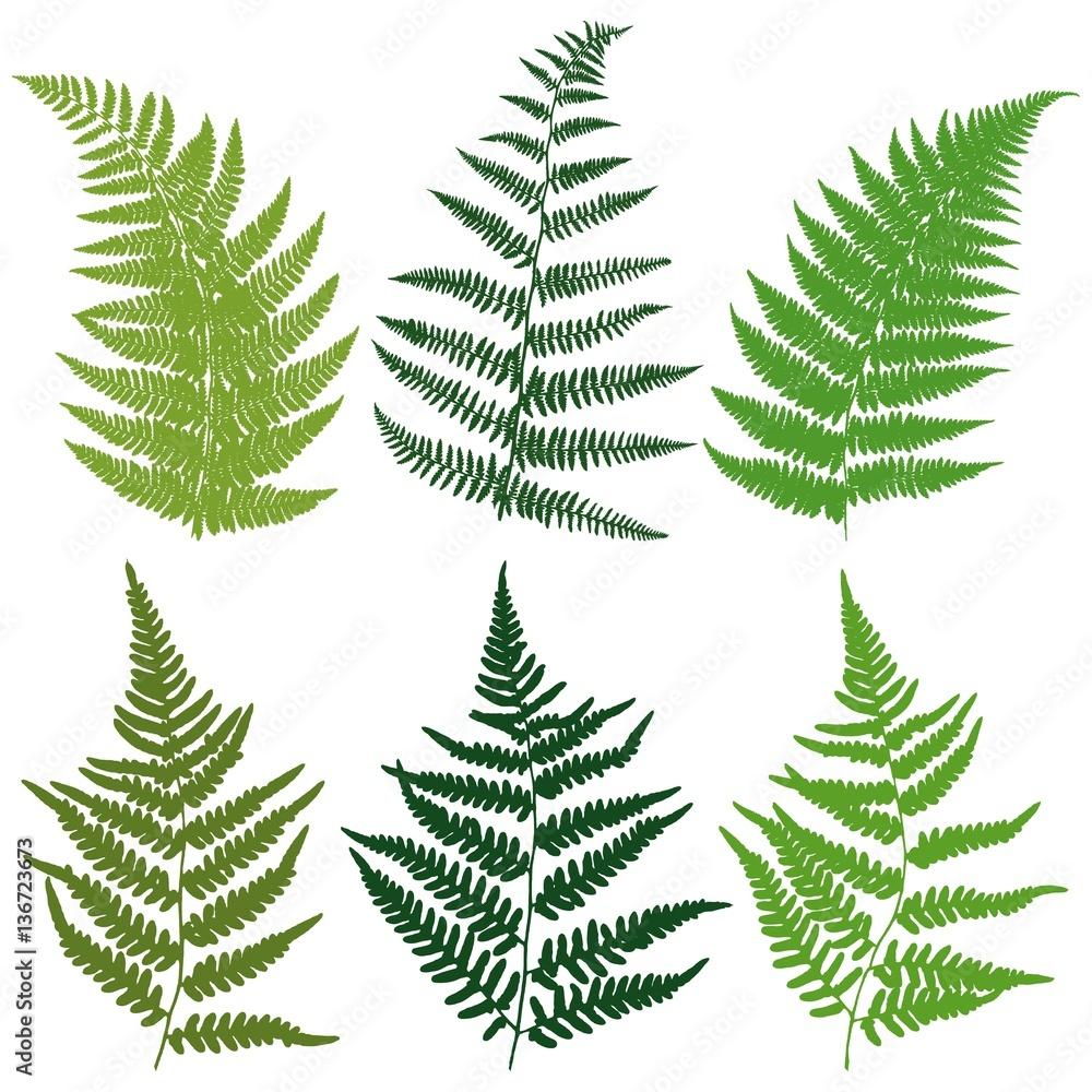 Fototapeta A set of silhouettes fern leaves. Vector.