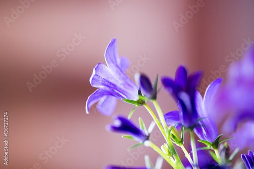 Poster Iris closeup of purple campanula booms in morning light with pink blurred background
