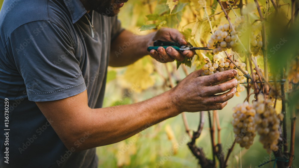 Fototapety, obrazy: Grape harvest in the Tuscan hills.