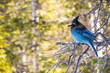 Steller's Jay in Rocky Mountain National Park, Side View