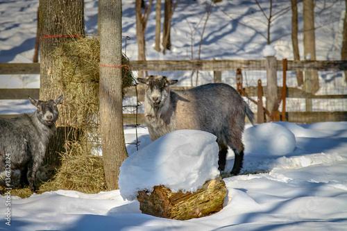 Fotografie, Obraz  Goats in the Snow