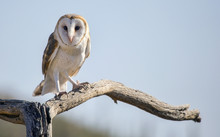 Common Barn Owl (Tyto Alba) #2
