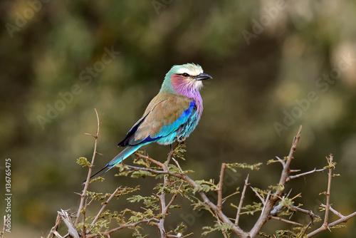 Fotografía  Lilac-breasted roller in National park of Kenya