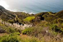 Weedy Pampas Grass  At The Big Sur Coast, Los Padres National Fo