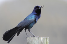 Boat-tailed Grackle (Quiscalus Major) Singing On Fence Post, Kissimmee, Florida, USA