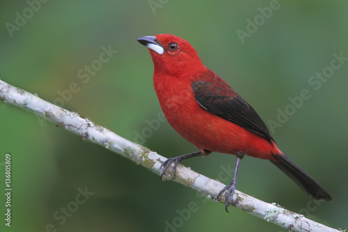 Photo  Brazilian tanager (Ramphocelus bresilius) male sitting on a branch in garden wit