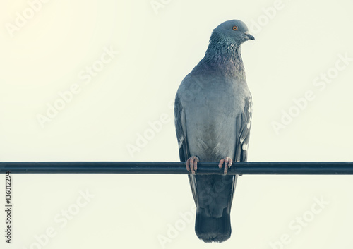 Pigeon on the wire 2