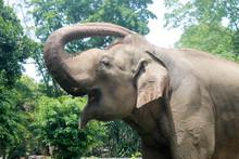 Asian Sumatran Elephant Side Portrait, Close Up Of Face On Trees
