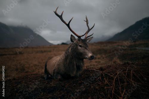 Fotografie, Tablou Deer