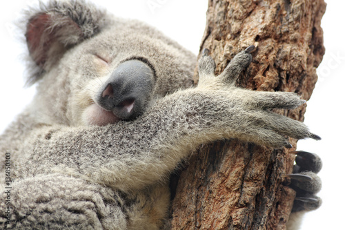 Mother koala isolated on white