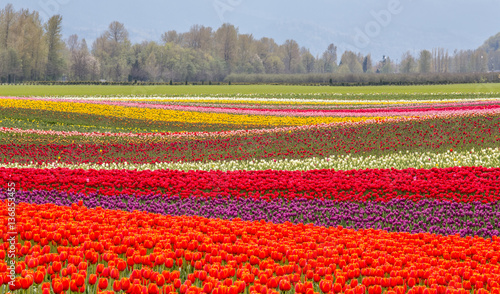 Poster de jardin Rouge colorful fields of tulips in Agassiz, British Columbia, Canada