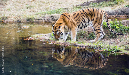 Obrazy na płótnie Canvas Adult male Bengal tiger (Panthera tigris tigris)