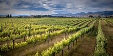 Organic Vineyard Marlborough A...
