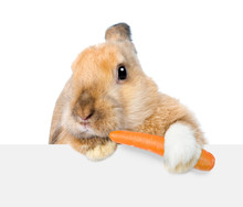 Rabbit Eating Carrot And Looki...