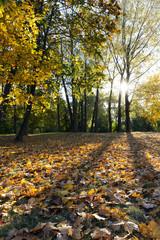 yellowed maple trees in autumn