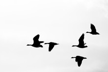 Canadian Goose Flying Formation Silhouette