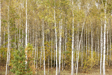 Panel Szklany Podświetlane Las green birch leaves