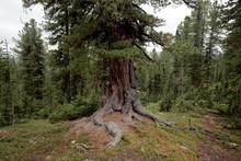 Mighty Cedar In The Siberian T...