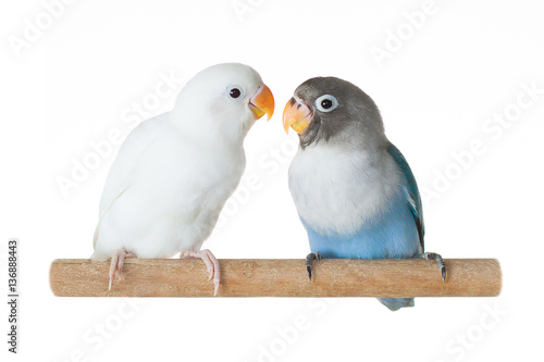 Photo Blue and white parrots lovebird sitting on perch isolated on white background
