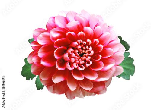 Poster de jardin Dahlia Pink autumn chrysanthemum isolated on white
