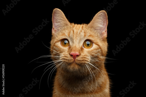 Fotografiet Close-up Portrait of Ginger cat face with interest looking in camera on Isolated