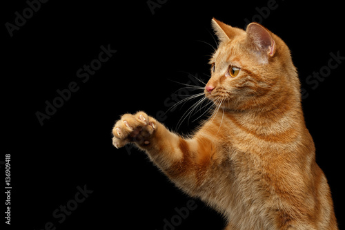 Fotografie, Tablou Portrait of Ginger Hunter cat with stretched paw on Isolated Black background, f