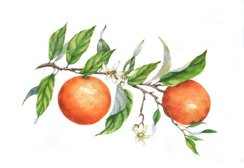 Hand drawn watercolor illustration of oranges on branch on the white background